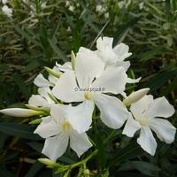 Nerium oleander 'Album' 100/125 C10L
