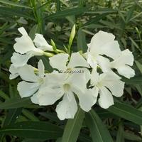 Nerium oleander 'Album' 40/50 C4L
