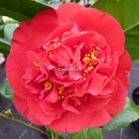 Camellia japonica 'Kramer Supreme'
