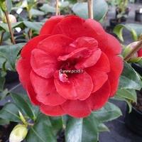 Camellia japonica 'Black Prince' 40/50 C4L