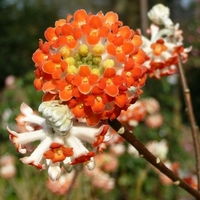 Edgeworthia chrysantha 'Red Dragon' 40/60 C4L