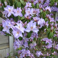 Rhododendron augustinii 'Carolles' 40/50 C4L