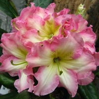 Rhododendron x 'Melrose Flash' C5L