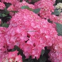 Hydrangea macrophylla 'Selma' ® 20/40 C4L