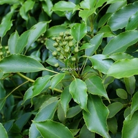 Trochodendron aralioides 40/50 C3L