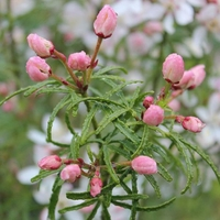 Choisya ternata 'Apple Blossom' ® 25/30 C3,5L