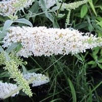 Buddleja davidii 'White Ball' 30/40 C3,5L
