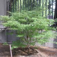 Acer palmatum 'Scolopendrifolium' 175/200 C7,5L