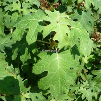 Hydrangea quercifolia 'Tennessee Clone' 40/50 C4L