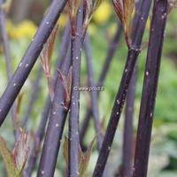 Cornus alba 'Kesselringii' 30/40 C4L