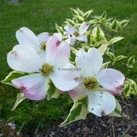 Cornus florida 'Pink Flame' 100/150 C15L