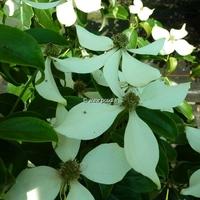Cornus hongkongensis 30/40 C4L