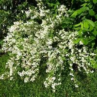 Deutzia gracilis 30/40 C4L