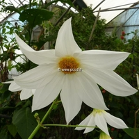 Dahlia imperialis 'Alba' C3L