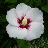 Hibiscus syriacus 'Pinky Spot' ® 40/60 C4L