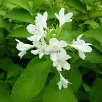Weigela hortensis 'Nivea' 40/50 C4L