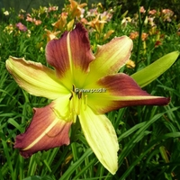 Hemerocallis 'Magic Dawn' C3L
