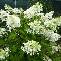 Hydrangea paniculata 'Ammarin' 30/40 C4L