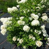 Hydrangea paniculata 'Bomb Shell' ® 30/40 C4L