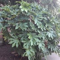 Fatsia japonica 40/60 C4L