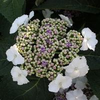 Hydrangea serrata 'Tokyo Delight' 20/40 C4L