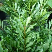 Eurya japonica 'Moutiers' 20/30 C4L