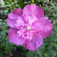 Hibiscus syriacus 'Purple Ruffles' ® 40/60 C4L