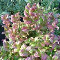 Leucothoe axillaris 'Curly Red' ® 30/40 C4L