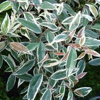 Leucothoë fontanesiana 'Whitewater' ®