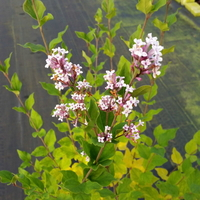 Syringa 'Flowerfest White' 40/50 C3L