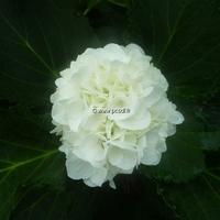 Hydrangea macrophylla 'Jumbo' 20/40 C4L