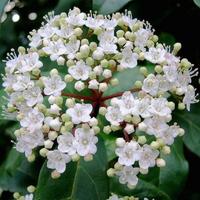 Viburnum tinus 'Lucidum' 40/60 C4L