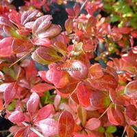 Berberis x media 'Dual Jewel' ® 30/40 C3,5L