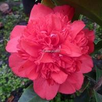 Camellia japonica 'Volcano'