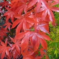 Acer palmatum 'Osakazuki' 40/60 C5L