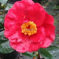 Camellia japonica 'San Dimas' 40/60 C5L