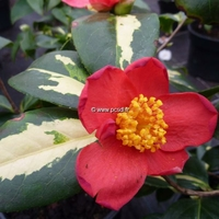 Camellia japonica ssp. rusticana 'Reigyoku' 40/50 C7,5L