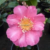 Camellia sasanqua 'Belinda'