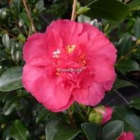 Camellia sasanqua var. hiemalis 'Bonanza'