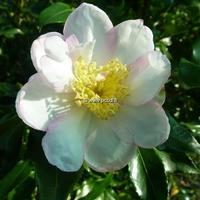 Camellia sasanqua 'Duff Alan'