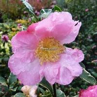 Camellia sasanqua 'Hana Daijin Benten'