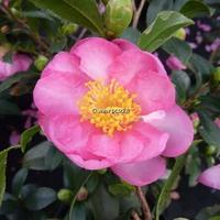 Camellia sasanqua 'Sandra' 60/80 C5L