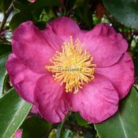 Camellia sasanqua 'Kishar'