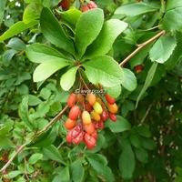 Berberis koreana 'Red Tears' 40/60 C4L