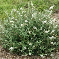 Buddleja x 'White Chip' ® 20/30 C3,5L