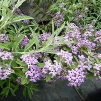 Buddleja alternifolia 'Argentea' 30/40 C4L