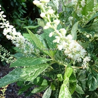 Clethra alnifolia 'Creel's Calico' 40/60 C4L