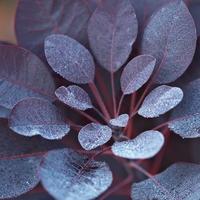 Cotinus coggygria 'Royal Purple' 40/50 C4L