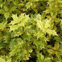 Osmanthus heterophyllus 'Goshiki' 40/50 C4L