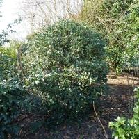 Osmanthus heterophyllus 'Gulftide' 40/50 C4L